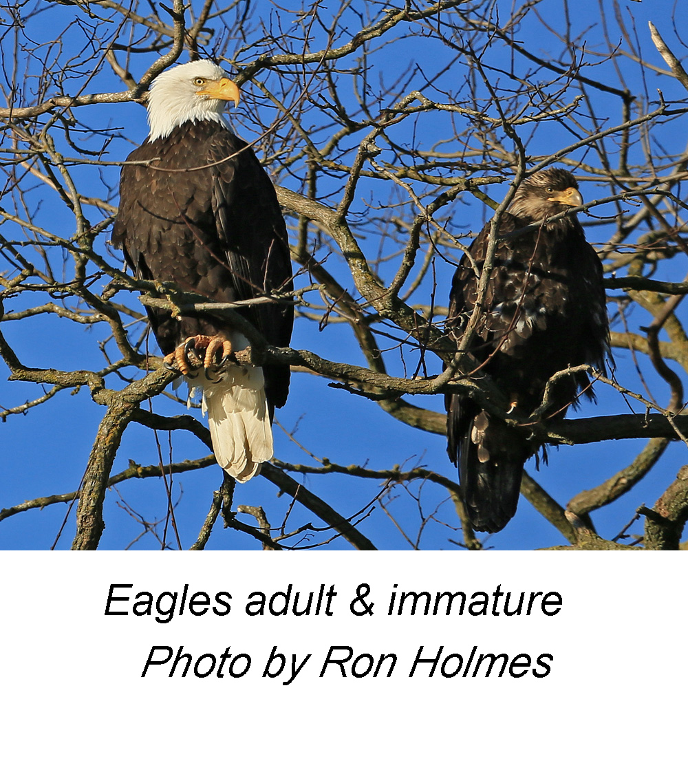 Eagles adult imm RH2