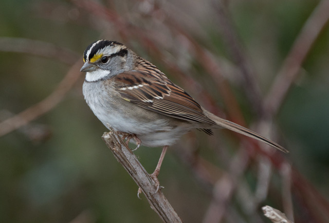 J. Halton White throated Sparrow