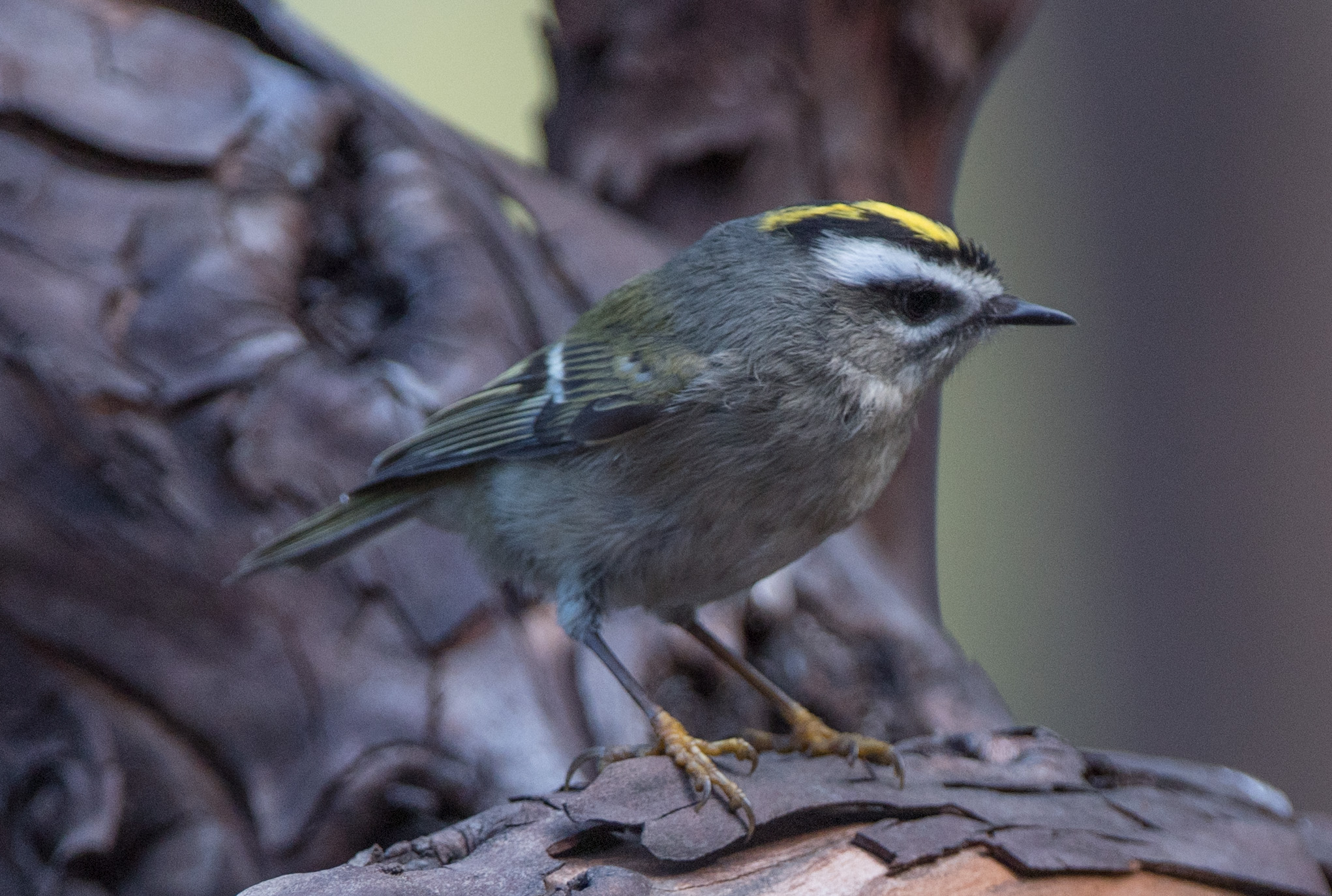 Kinglet Golden crowned 20161003 01