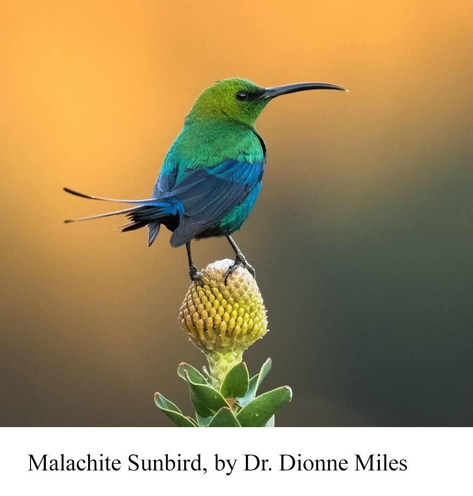 Malachite sunbird male by Dionne Miles1