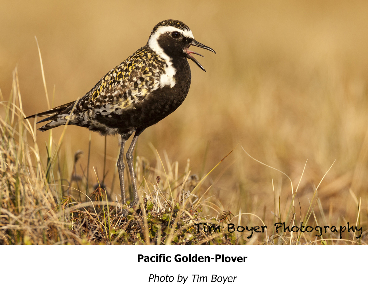 Plover Pacific Golden TimBoyer 17 06