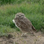 burrowingowl6crop