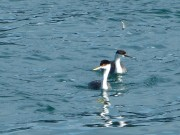 twogrebes