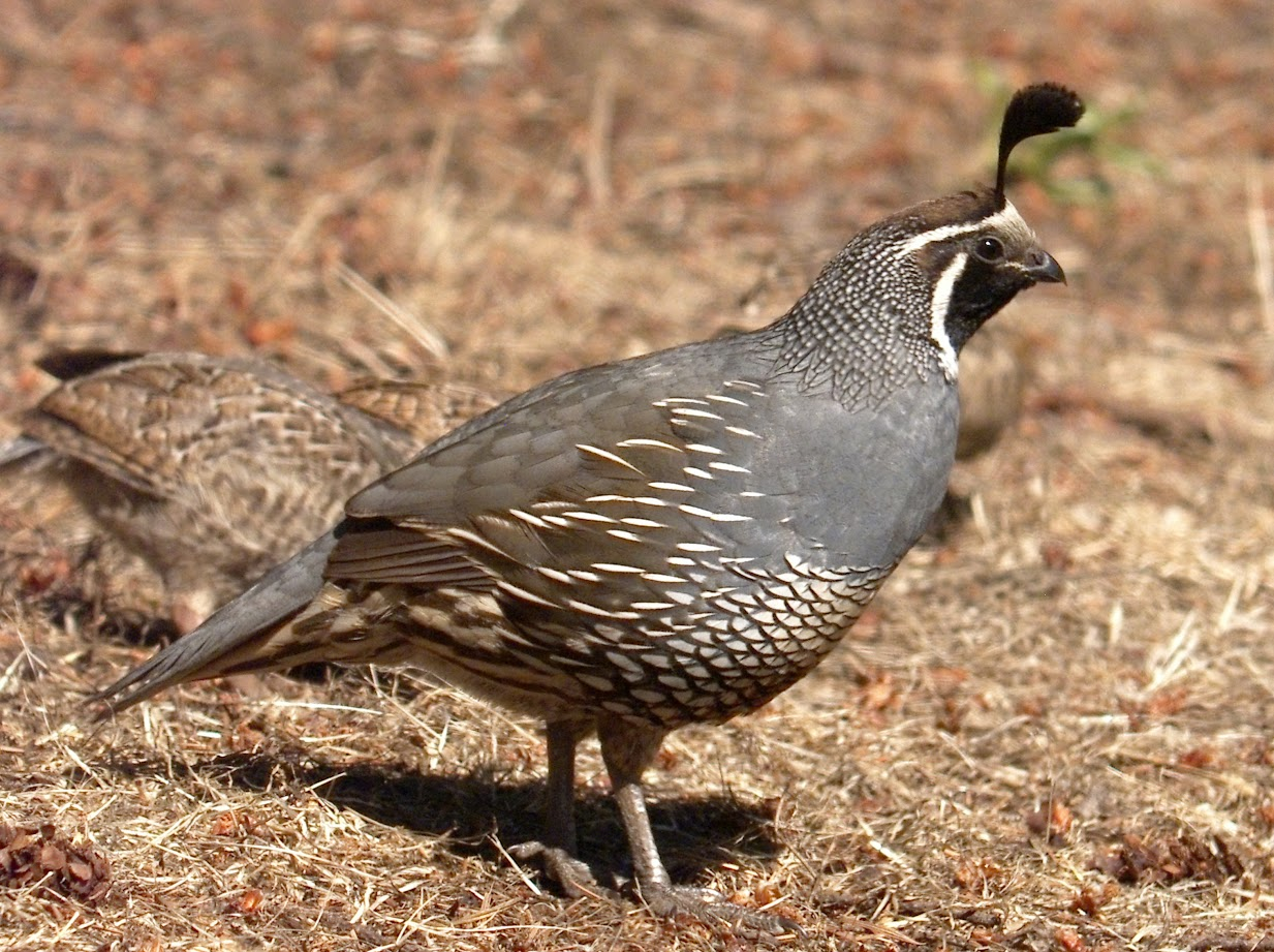 California quail Dad