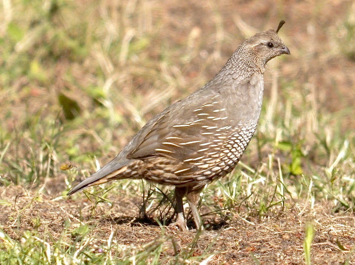 California quail Mom