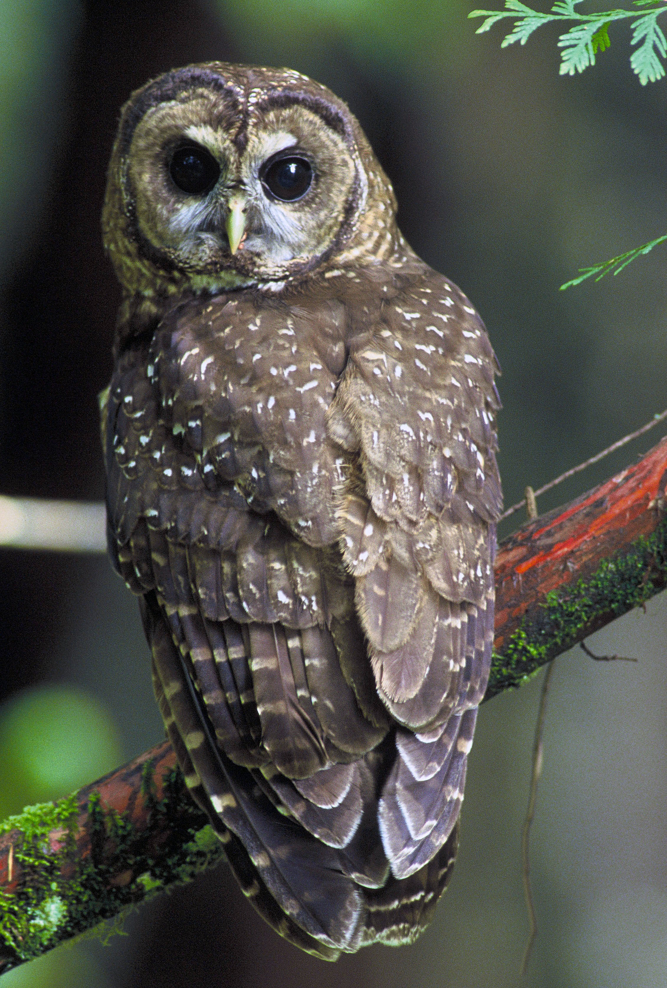 Northern Spotted Owl.USFWSProgram