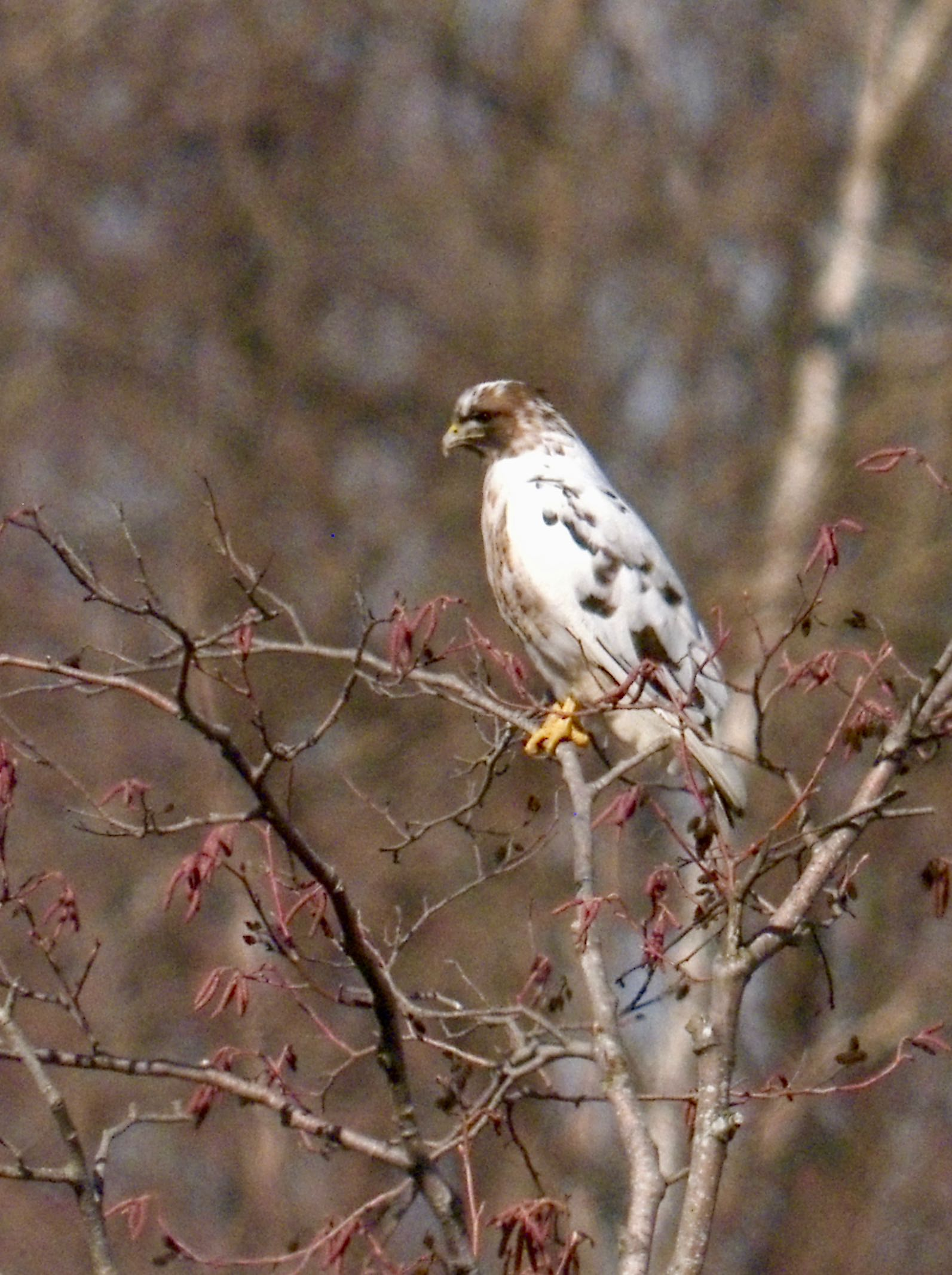 Red tailed hawk leucistic