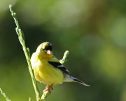 American Goldfinch Ron Holmes 750