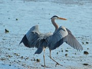Great Blue Heron Ron Holmes 800 600