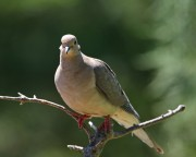 Mourning Dove Ron Holmes 750