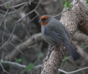Tucuman Mountain Finch