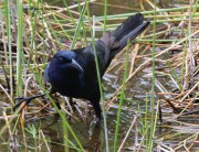 Boat tailed Grackle hunting
