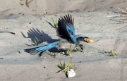 Flying Scrub Jay
