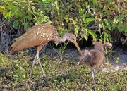 Limpkin chick with mother