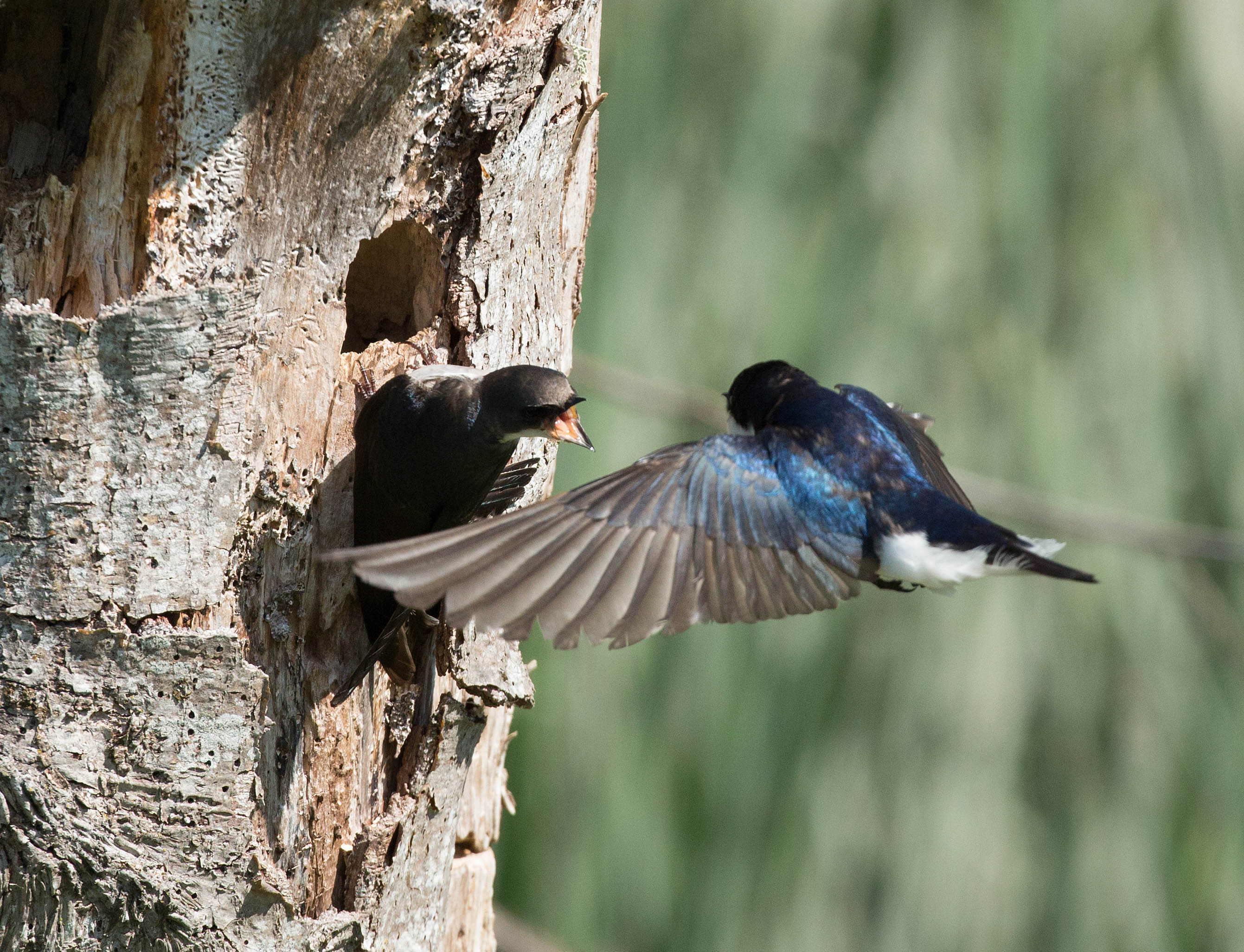 swallows on treeedt2